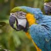 Pourquoi les perroquets parlent ?