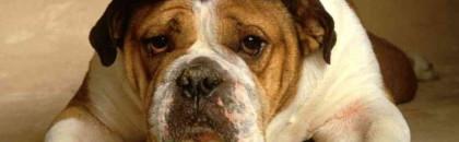 Les vaccins, une nécessité lorsque l'on possède un chien.